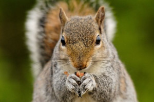 squirrels_nuts_1525860_l. midsize